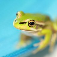 The Young Frog and the Trauma Process